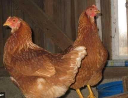 Тетра-Н інкубаційні яйця