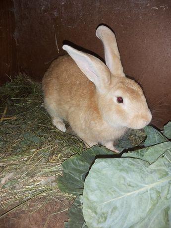 Samiec burgun królik