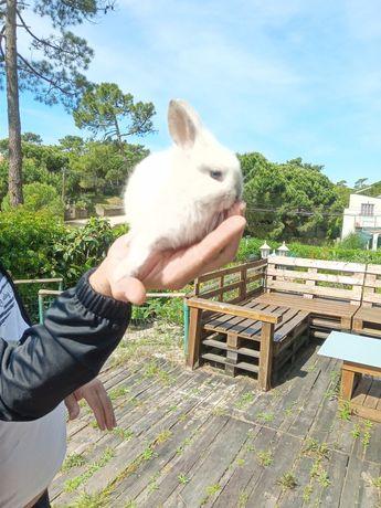 Coelhinhos anão toy