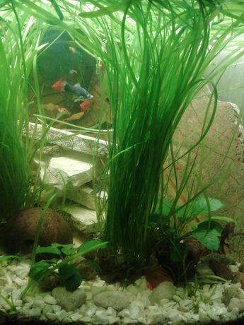 Nurzaniec, trawa do akwarium
