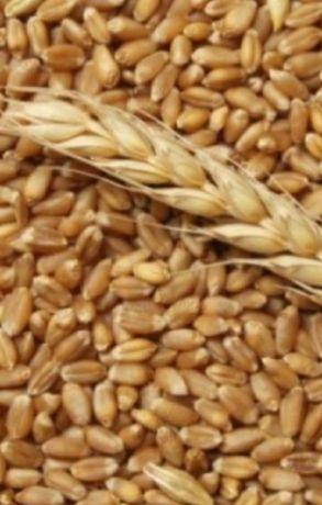 Продам   пшеницу.