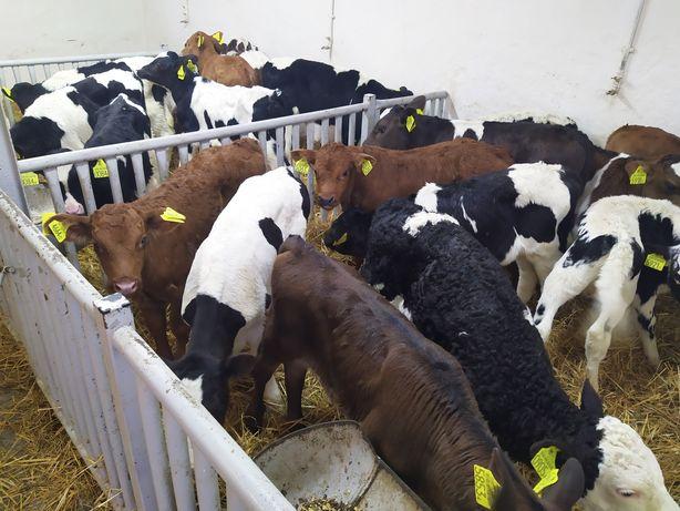 Sprzedam cielęta byczki