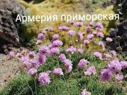 Продам многолетние цветы