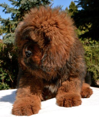 szczeniaczki mastifa tybetańskiego 2020/21- lion typ 100% china-pies