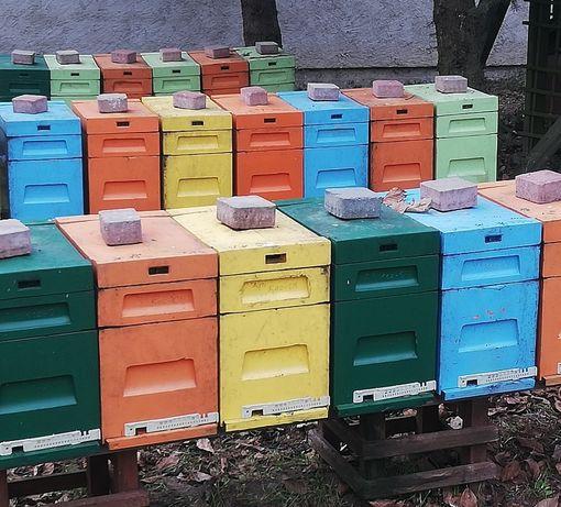 Odkłady pszczele przezimowane Wielkopolskie 2021/Rodziny pszczele