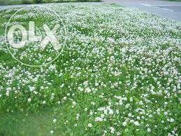 Семена клевера белого ( насіння конюшини білой)