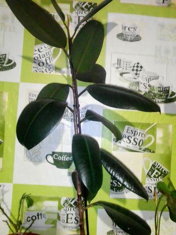 Фикус. Комнатные растения