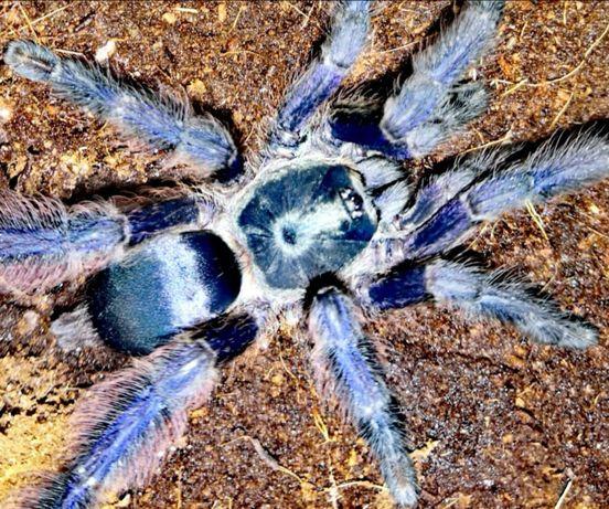 Tapinauchenius violaceus L4 pająk ptasznik i dużo innych
