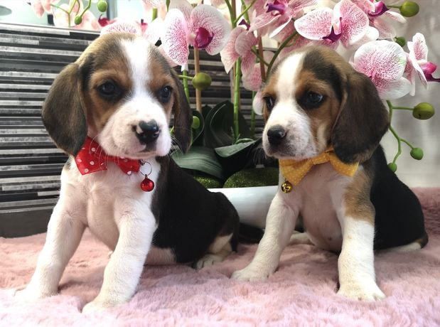Beagle Sunie i Pieski