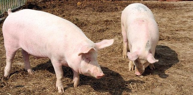 Trzoda świnie tucznik mięsny na ubój