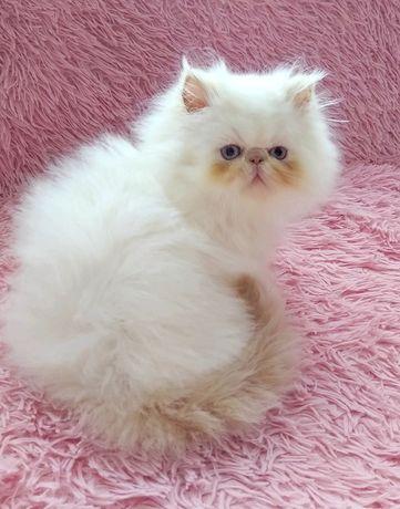 Красивый персидский котенок окрас ред поинт (мальчик)