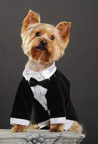 ТОРГ! Торжественный и красивый фрак для декоративных, маленьких собак