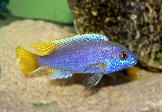 Pyszczak - Pseudotropheus acei yellow fin