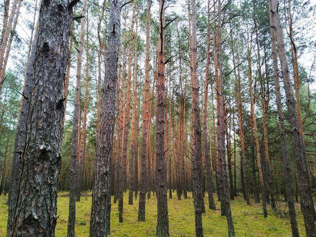 Sprzedam 60-letni las sosnowy w Rekówce koło Zwolenia/Lipska