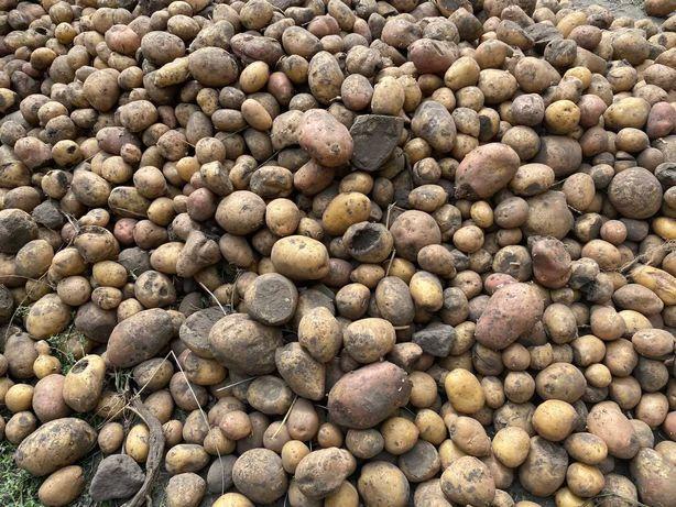 Продаю  картоплю
