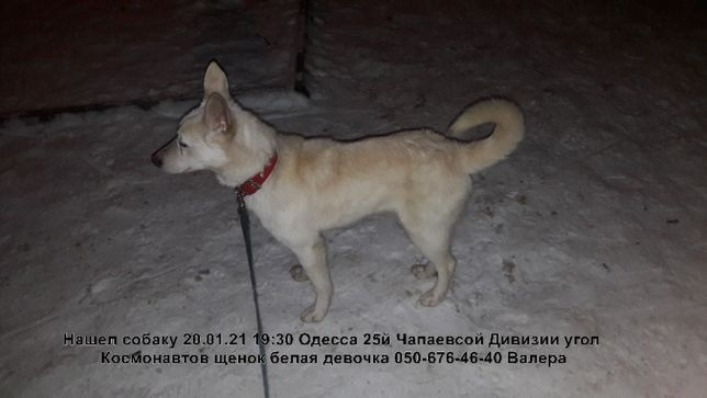 Найдена собака щенок белая сука