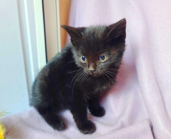Черный котёнок Бася, девочке 1 месяц, с желтыми глазками