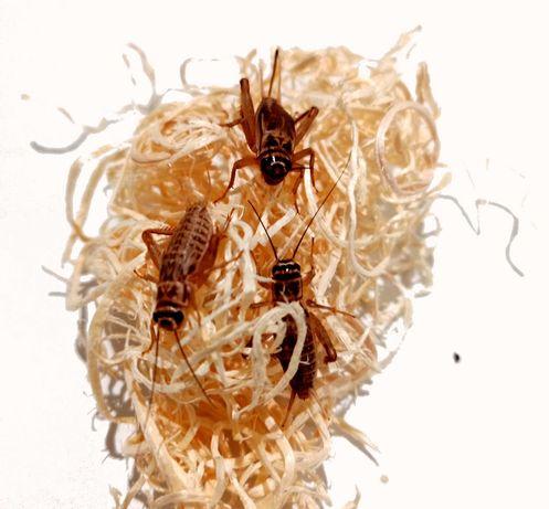 Świerszcze domowe (Acheta domestica)