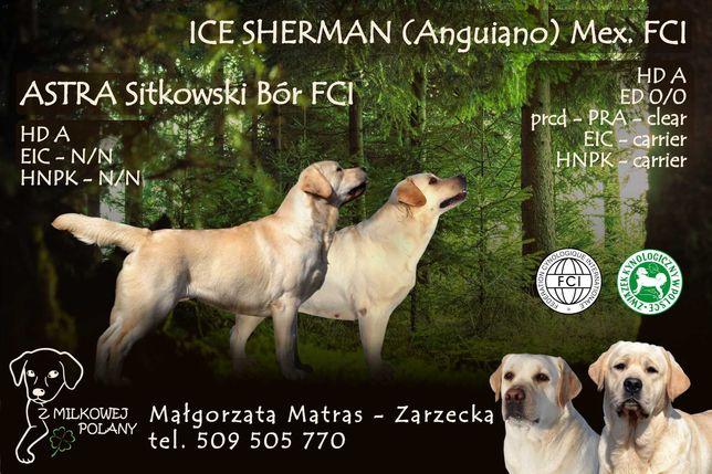 Labrador Retriever - szczenięta- zapowiedź miotu ZKwP, FCI