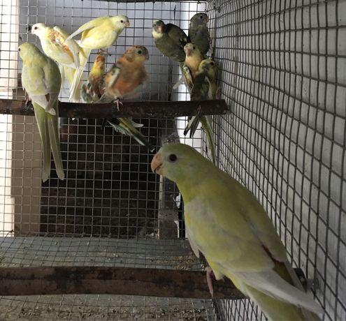 Aves para criação.