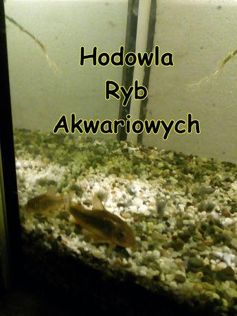 Kirysek spiżowy ( domowa hodowla ryb akwariowych). GRATISY
