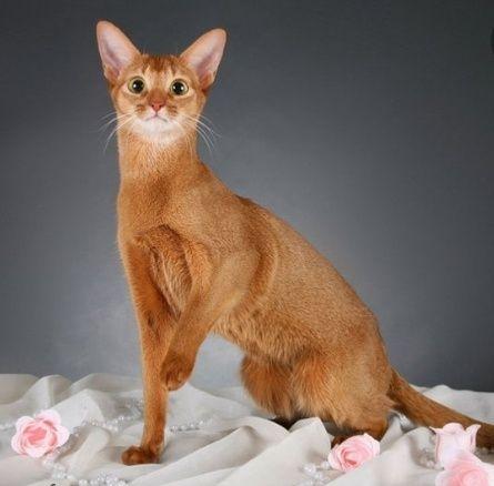 Беременная абиссинская кошка