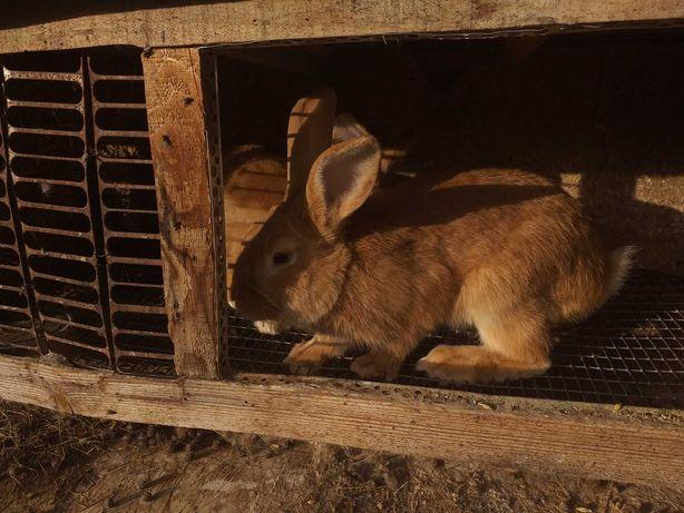Кролики Бургундской породы