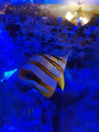 Chelmon rostratus akwarium morskie