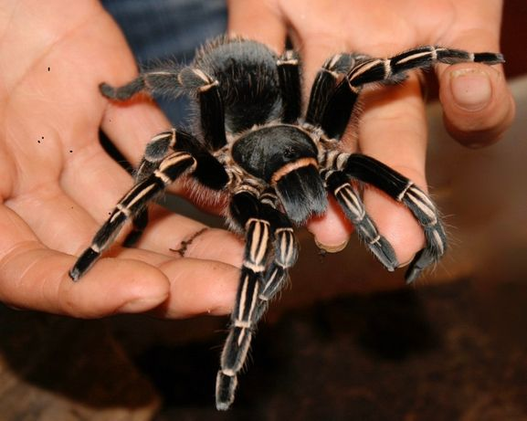 Aphonopelma seemanni самка паука птицееда