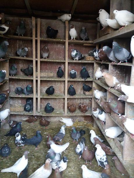 голуби разных пород.продажа и обмен на зерновые