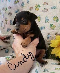Pinczer miniaturowy pies szczeniak