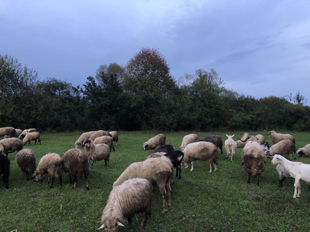 Продам вівці на мясо