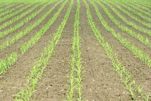 Siew Kukurydzy, Zbóż, Traw, grochu itp, Orka, Uprawa