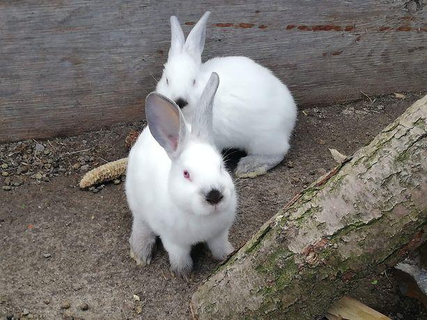 Sprzedam młode króliki kalifornijskie