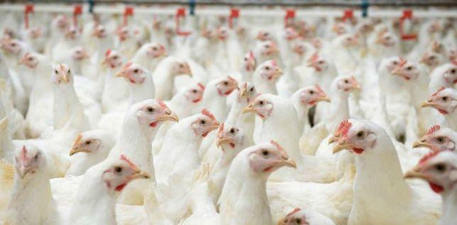 Kurczak żywy i bity z własnej hodowli i ubojni