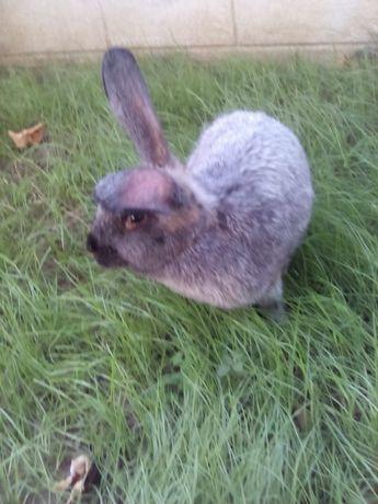 Продам кролів полтавське срібло термонці бургунці каліфорнійці