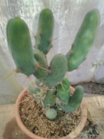 Cactus vaso boca 25cm