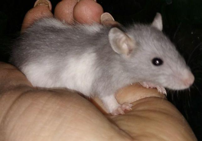 Малыши крысята