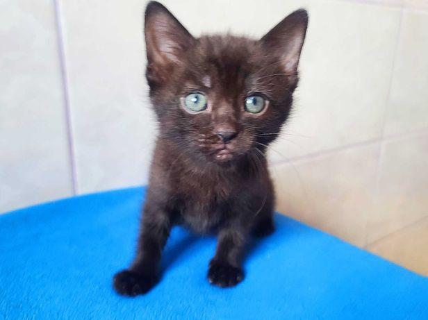 Чарівний карапуз Мавр 1,5 міс. (кот, котенок)