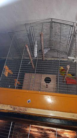 Sprzedam papugi faliste rezerwacja do niedzieli