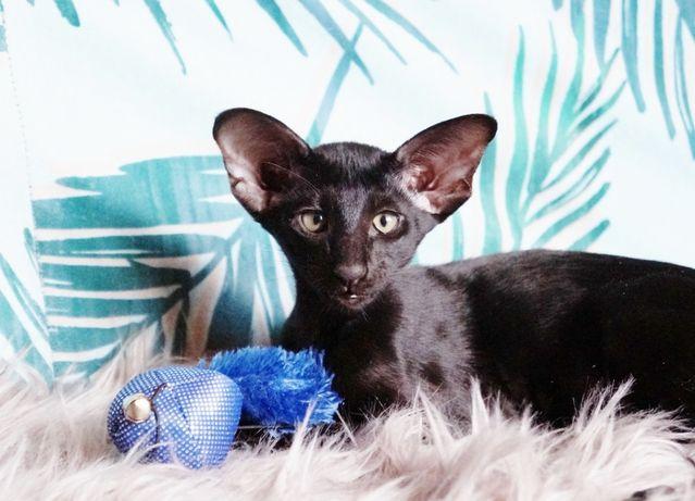 Peterbald, kotka krótkowłosa