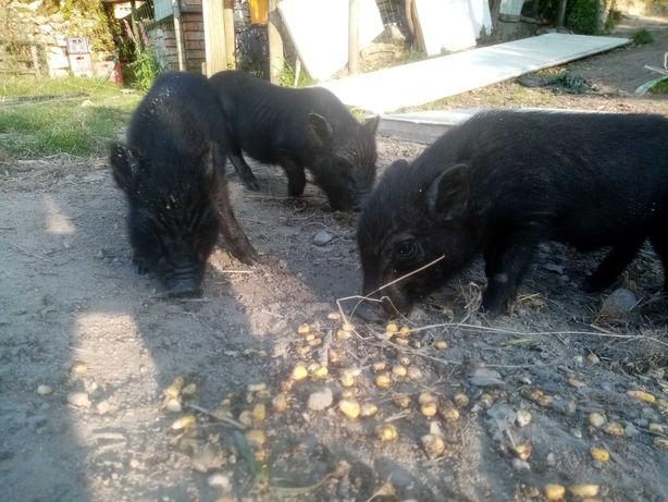 Vendo porcos  Vietnamitas