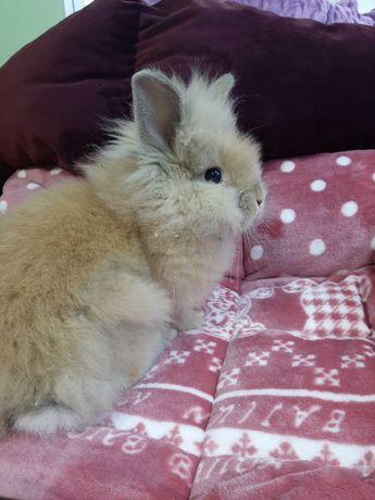 Кролик декоративный ангора