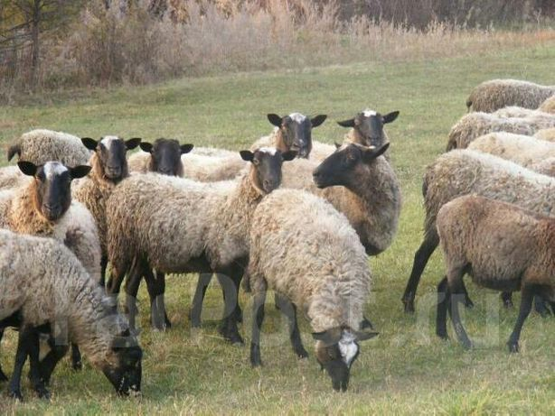 Овцы,ярки,бараны,матки живым весом на развод