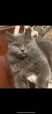 Zaginął kot brytyjski długowłosy kolor szary niebieski