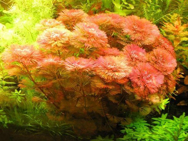 Cabomba Piauhyensis (Cab.red)