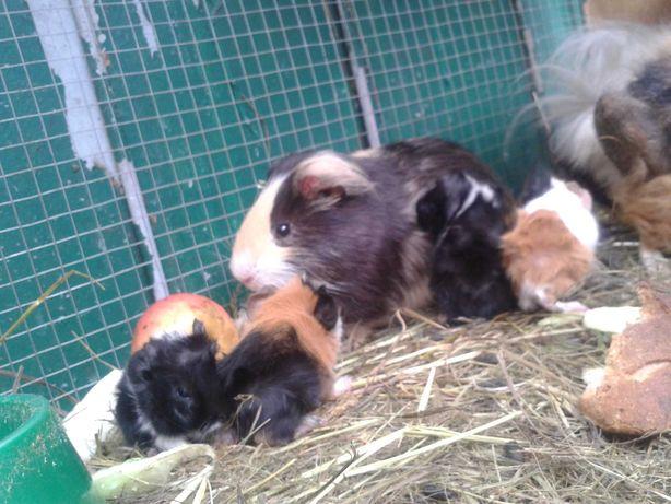 świnki dziś się urodziły 4 małe