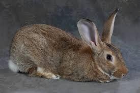 Продам    кролишку