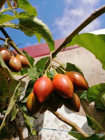 Árvore de Fruto Tamarilho