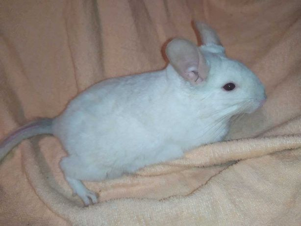 Шиншилла мальчик белый 5-ти месяцев